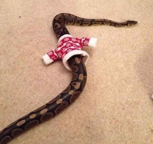 kígyópulcsi